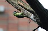 成大校區五色鳥紀錄:飛行版 067.jpg