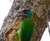 成大校區五色鳥紀錄:五色鳥--成大  175.jpg
