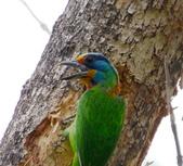 成大校區五色鳥紀錄:五色鳥--成大  176.jpg