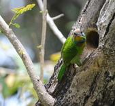 成大校區五色鳥紀錄:五色鳥--成大  115.jpg