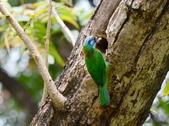 成大校區五色鳥紀錄:五色鳥--成大  126.jpg