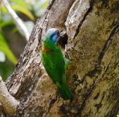 成大校區五色鳥紀錄:五色鳥--成大  130.jpg
