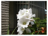 2015花圃菜園:DSC08849.JPG