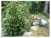 2015花圃菜園:20150711 傾倒的九重葛.JPG