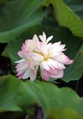 牡丹蓮花 :IMG_6768