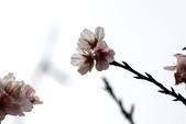 吉野櫻 - 庭園:IMG_6337
