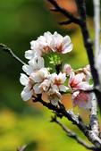 吉野櫻 - 庭園:IMG_6385