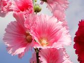 蜀葵花:DSC03301