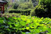 2018植物園荷花:0609涼亭邊荷花盛開
