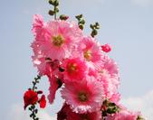 蜀葵花:DSC03302