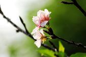 吉野櫻 - 庭園:IMG_6263