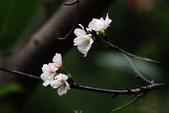 吉野櫻 - 庭園:IMG_6287
