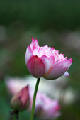 牡丹蓮花 :IMG_9512