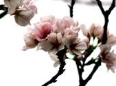 吉野櫻 - 庭園:IMG_6332