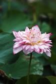 牡丹蓮花 :IMG_9518