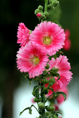 蜀葵花:IMG_1612