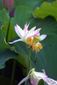 牡丹蓮花 :IMG_6789