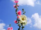 蜀葵花:DSC03306