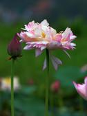 牡丹蓮花 :IMG_9556