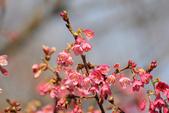 草山行館:山櫻花