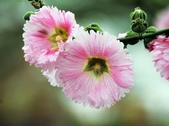 蜀葵花:IMG_1623