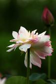 牡丹蓮花 :IMG_9542