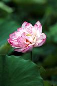 牡丹蓮花 :IMG_6745