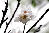 吉野櫻 - 庭園:IMG_6296