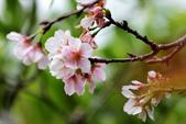 吉野櫻 - 庭園:IMG_6323