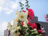 蜀葵花:DSC03318
