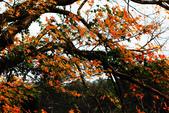 陽明山-楓情與梅花 :IMG_4302