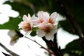 吉野櫻 - 庭園:IMG_6286