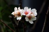 吉野櫻 - 庭園:IMG_6312
