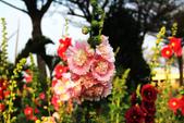 蜀葵花:IMG_5048