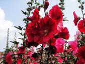 蜀葵花:DSC03320