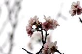 吉野櫻 - 庭園:IMG_6335