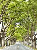 林初埤木棉花:太保市小葉欖仁樹綠色隧道