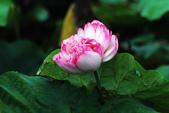 牡丹蓮花 :IMG_6752