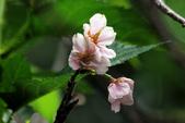 吉野櫻 - 庭園:IMG_6293