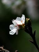 吉野櫻 - 庭園:IMG_6447