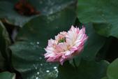 牡丹蓮花 :IMG_9535