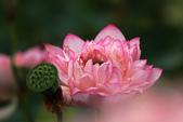 牡丹蓮花 :IMG_9543