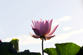 荷香,蓮鄉:IMG_8432
