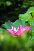 2018植物園荷花:IMG_9472
