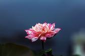 牡丹蓮花 :IMG_9538