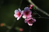中正紀念堂梅花:山櫻花