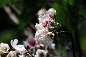 吉野櫻 - 庭園:IMG_6378