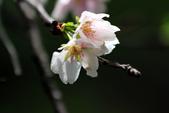 吉野櫻 - 庭園:IMG_6402