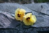 鄉村:黃槿花