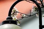 吉野櫻 - 庭園:IMG_6363